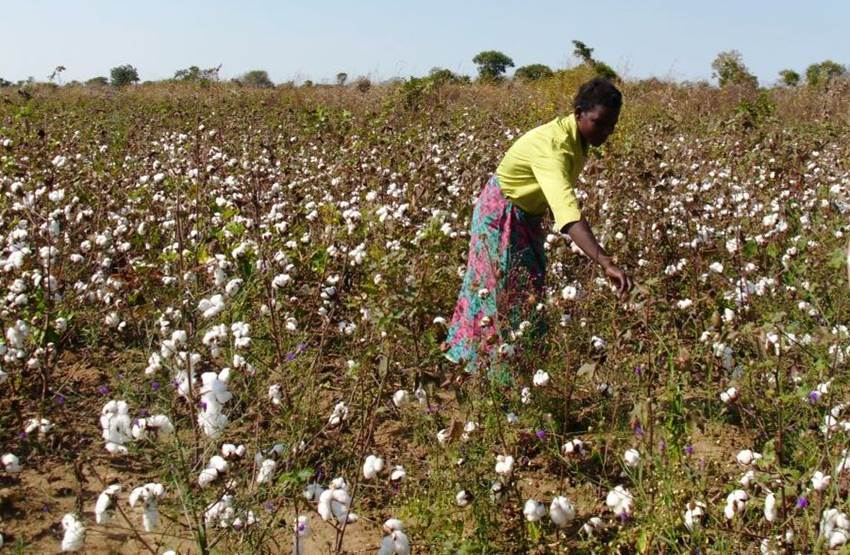 woman in picking cotton in field